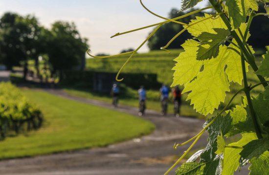 Bike ride in vineyards