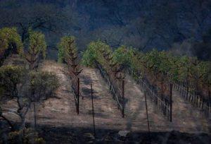 Burned vineyards